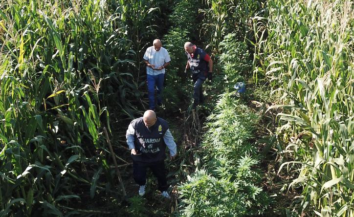 Photo of Sequestrate nel casertano 30 piante di marijuana nascoste tra granoturco