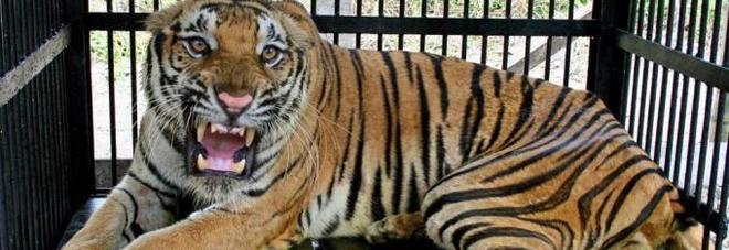 Photo of Entra nudo dentro la gabbia della tigre: 25enne perde un braccio