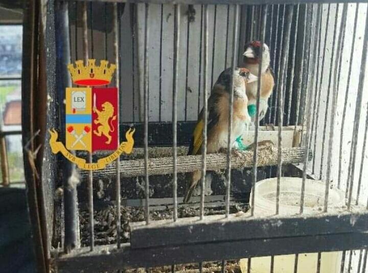Photo of Pompei. Polizia trova 21 uccellini di specie protetta in una cantina e li libera sul Vesuvio