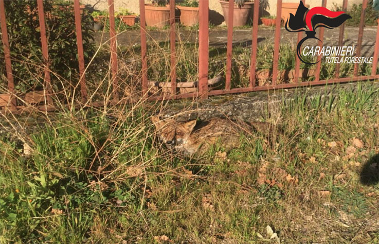 Photo of I carabinieri forestali salvano una volpe rossa in fin di vita nel Salernitano